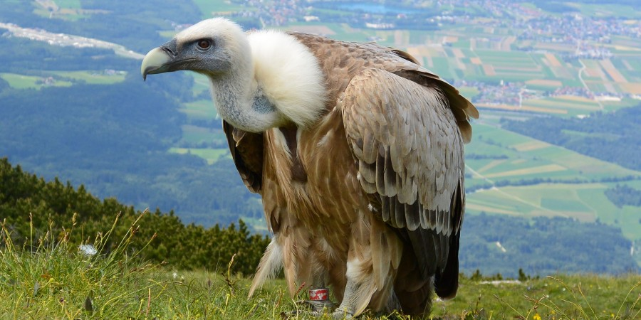 vulture-708784_1920