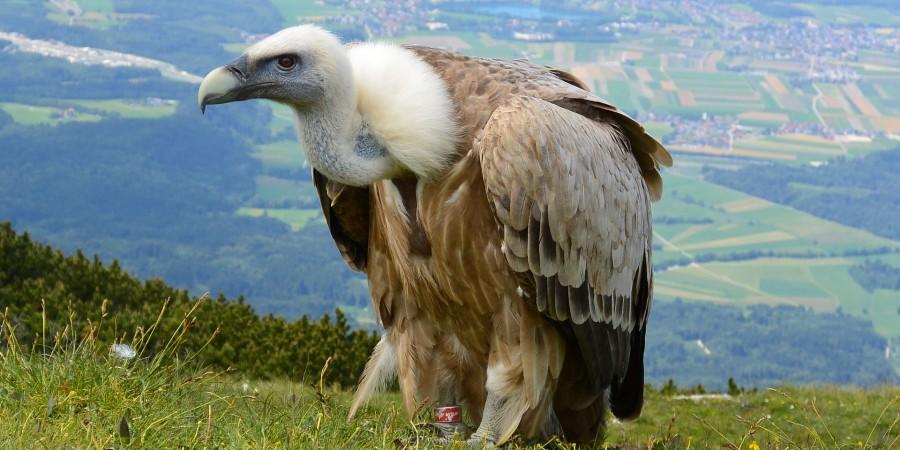 vulture-708784_1920